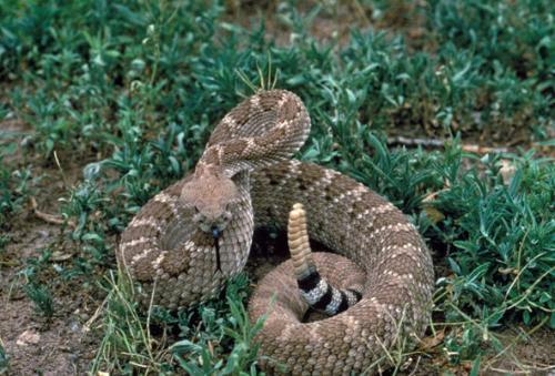 舌尖上的贝爷-响尾蛇
