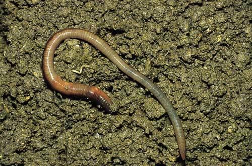 舌尖上的贝爷-蚯蚓