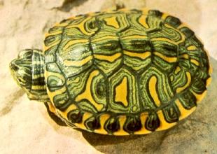 舌尖上的贝爷-彩龟
