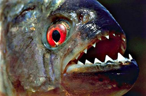 舌尖上的贝爷-食人鱼