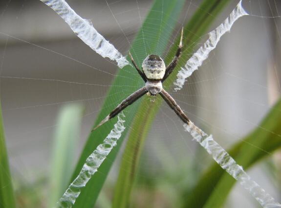 舌尖上的贝爷-十字蜘蛛