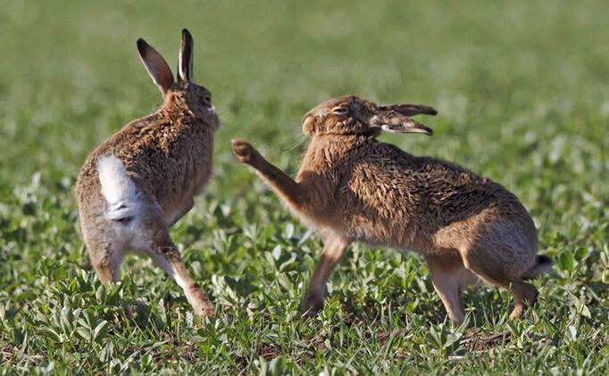 舌尖上的贝爷-苏格兰兔