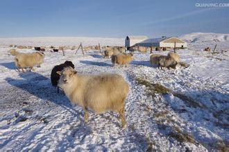舌尖上的贝爷-冰岛绵羊