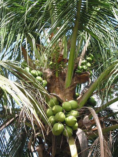 舌尖上的贝爷-椰子