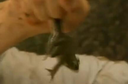 舌尖上的贝爷-青蛙