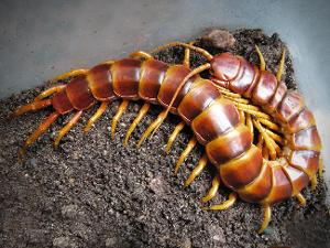 舌尖上的贝爷-蜈蚣