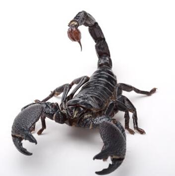 舌尖上的贝爷-蝎子