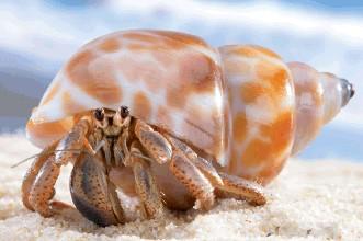 舌尖上的贝爷-寄居蟹