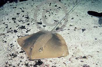 舌尖上的贝爷-黄貂鱼