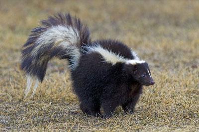 舌尖上的贝爷-臭鼬