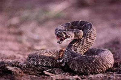 舌尖上的贝爷-菱斑响尾蛇