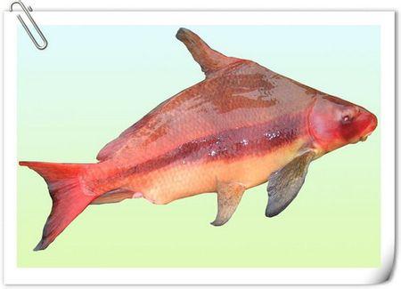 舌尖上的贝爷-胭脂鱼