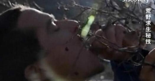 舌尖上的贝爷-朴树果