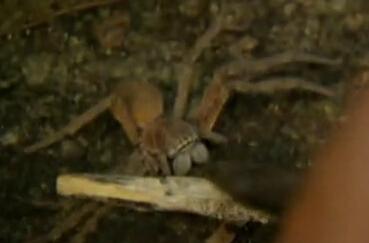舌尖上的贝爷-蜘蛛